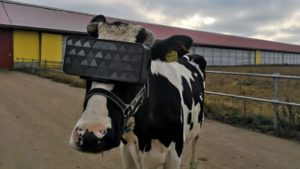 افزایش شیردهی گاوها با هدست واقعیت مجازی!